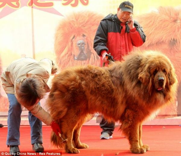 Tibetan-Mastiff-Emperor-went-on-sale-this-week-for-a-staggering-10-million-Yuan-1.6-million